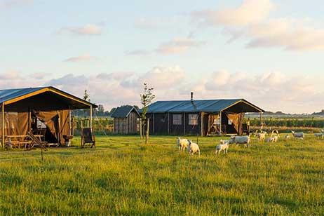 Boerderijvakantie bij Boerderij Ameland - Schapen bij de Heerenboer Tent