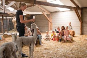 Alpaca overnachting - Alpaca boerderij Vorstenbosch - voeren alpacaveulen