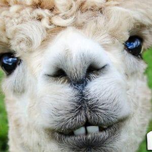 Overnachtingen tussen de Alpaca's: 3 tips