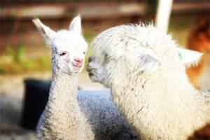Slapen bij Alpaca's - Alpaca met veulen - Zonneveld Alpaca's